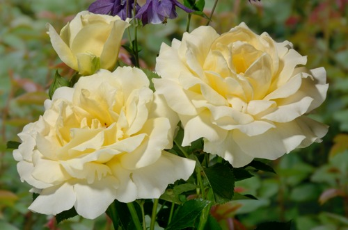Honey Bouquet rose сорт розы фото