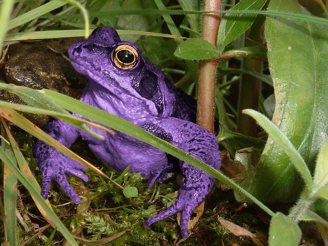 Katak ungu