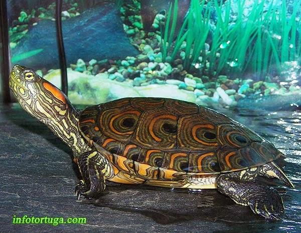 Trachemys callirostris, tortuga colombiana