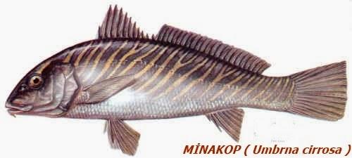 minekop balığı ile ilgili görsel sonucu