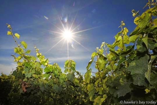 Sunny weather, blue skies over vineyards, near Hastings. photograph