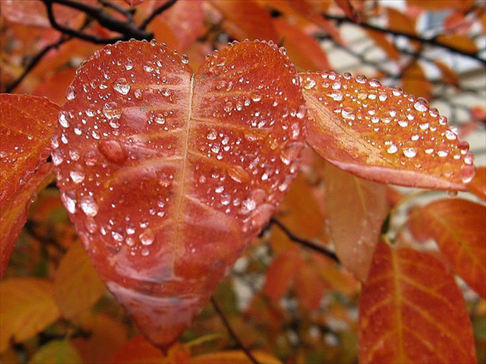 Red Leaf Rain Wallpaper