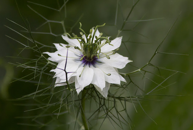Love-in-a-mist, Nigella damascena, white variety.  In my back garden in Hayes, 23 July 2011.