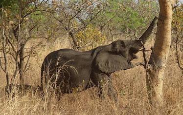 Sulten elefant