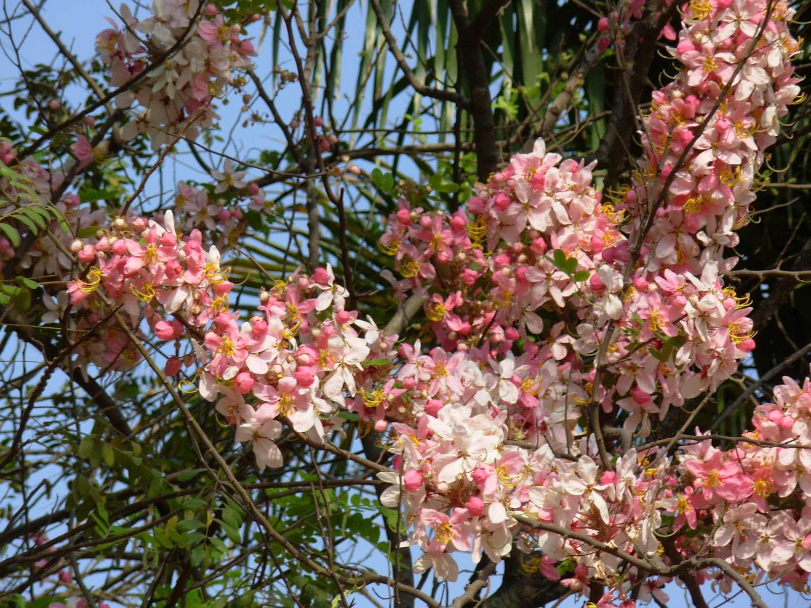 Summer blooms along bangalore roads rambling form a beautiful painting against the back drop of the blue skies and the feathery light green leaves it has its origins in brazil the flowering tree mightylinksfo