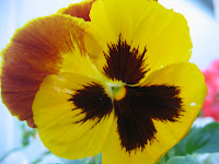 Pansy. Photo property of Carla Cooper. All Copyrights Reserved. Worship Melodies