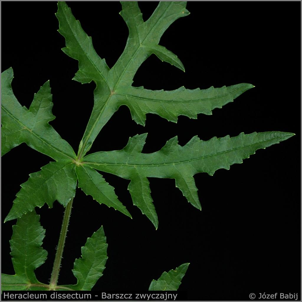 Heracleum dissectum leaf   - Barszcz zwyczajny strzępolistny    liść