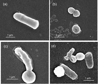 Konjugasi bakteri Escherichia coli