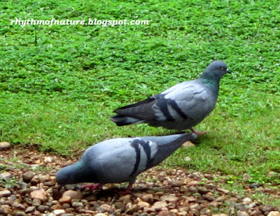 Blue Rock Pigeon ( Scientific name : Columba livia )