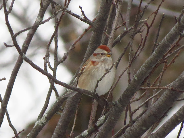 american tree sparrow one
