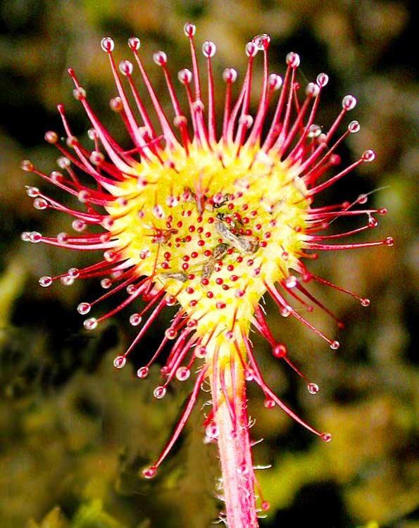 drosera_rotundifolia.jpg