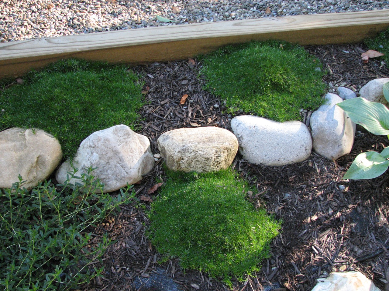 How to grow irish moss ground cover - This Zone 5 Plant Is Similar To The Irish Moss Above But Tends To Form Clumps It Prefers Shade With Some Morning Sunlight And Blooms In The Spring With