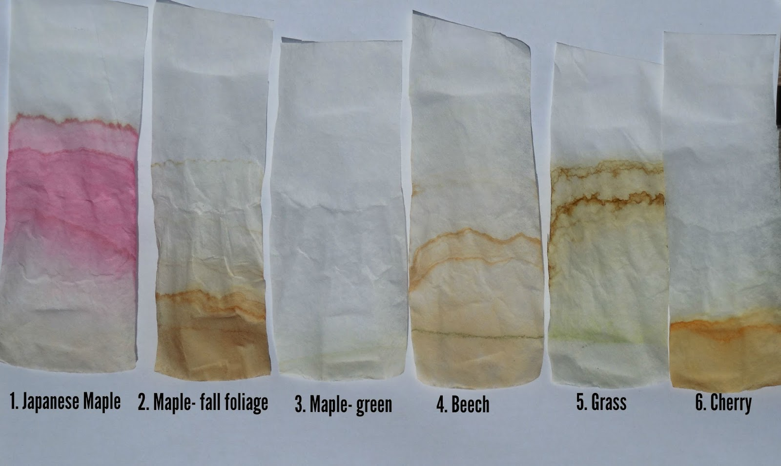 pigments in leaf chromatography The pigments involved in photosynthesis are embedded in the thylakoid   describe how to conduct chromatography to separate pigments from a leaf and.