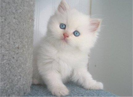 Kumpulan Foto Kucing Persia Lucu Gambarbinatang Com