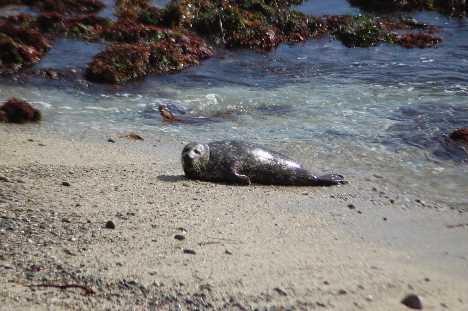 Un des phoque rencontré sur la 17 miles drive