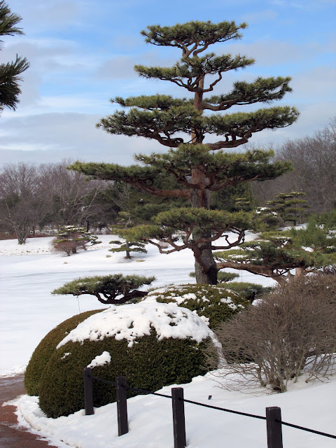 Pine tree, boxwood and pruned shrubs