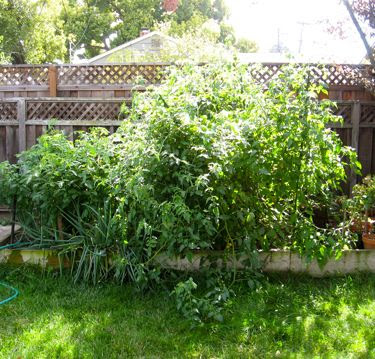 jungle of tomato plants