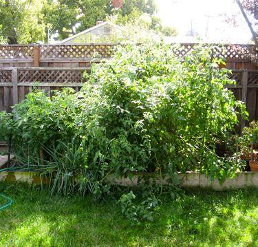 jungle of tomato plants