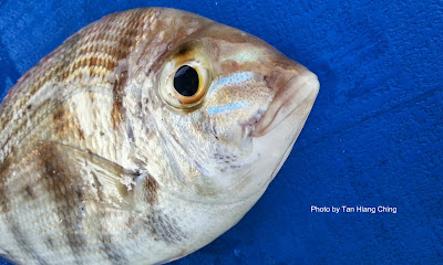 Yellowsnout Large-eye Bream