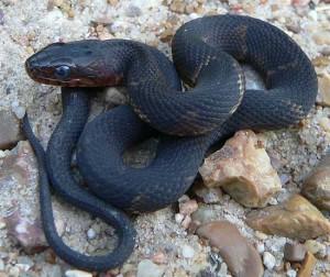 ular-hitam-Guneswary