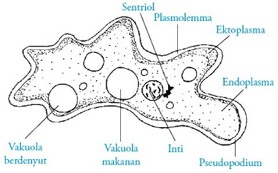Bagian-bagian tubuh Amoeba