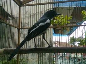 Macam Suara Burung Kicau, burung kicau,macam aneka burung kicau