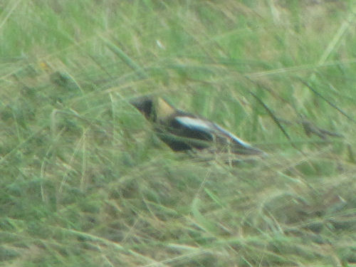 bobolink
