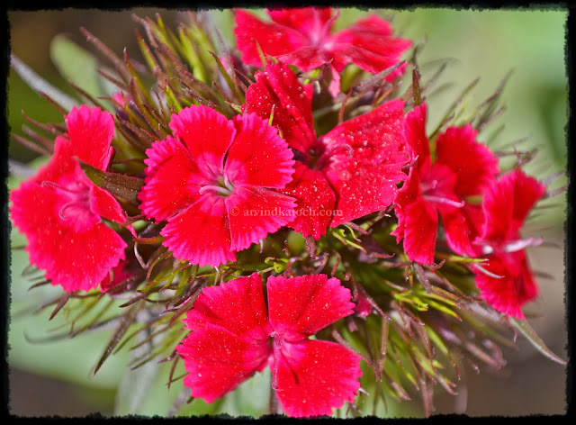 Green Grass, Red Flower,  Natural, Red Flowers,