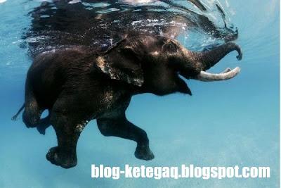 gajah pelik