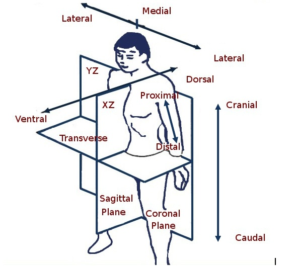 Zaras Viewpoint Anatomical Planes And Directions Of The Body