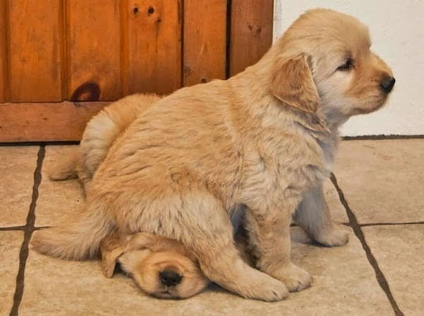 Cute dogs - part 11 (50 pics), puppy sits on another puppy