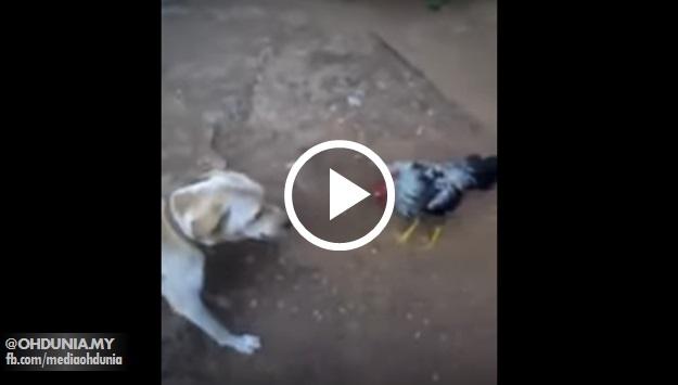 Biar betul!.. Ayam jantan terminum air ketum? Berani gila kejar anjing