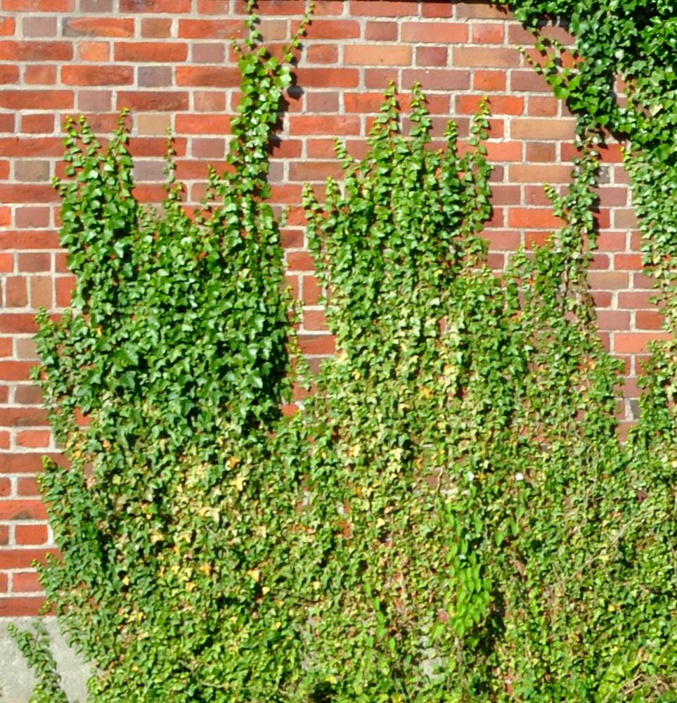 Consejos para tener una hiedra decorando tus muros mosquitos for Plantas trepadoras para muros