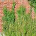 Consejos para tener una hiedra decorando tus muros