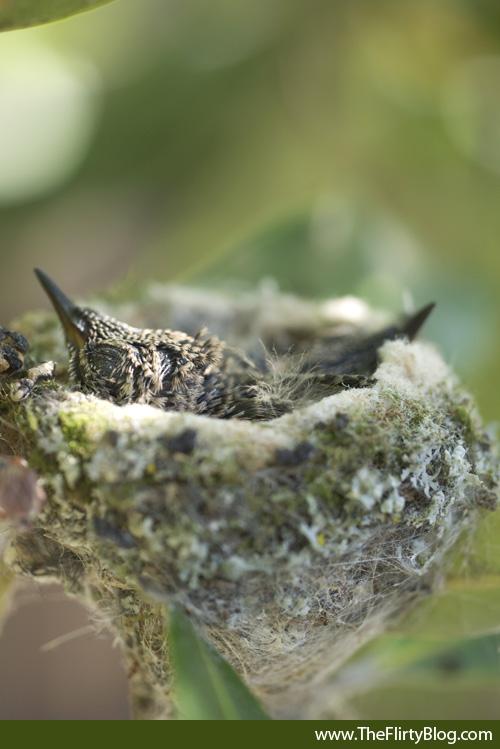 Baby, Hummingbird, Chicks, Nest, 12 Days
