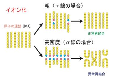 放射線によるDNA切断と異常再結合