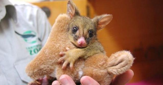 Orphaned Possum Adopts Toy Kangaroo After Losing Mum