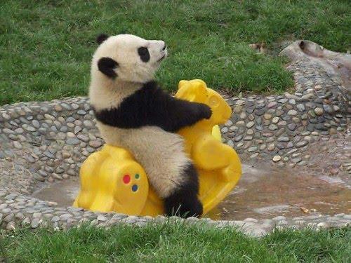 . Oso Panda Bebe Pasea en Caballito | Mi mundo Animal,perros,fotos ...