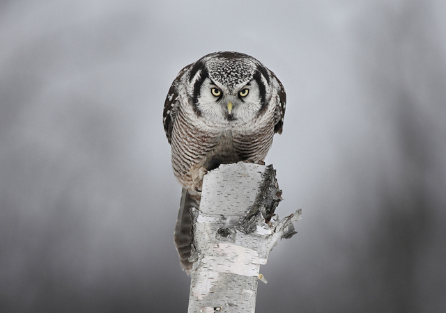 Staredown with a Hawk Owl