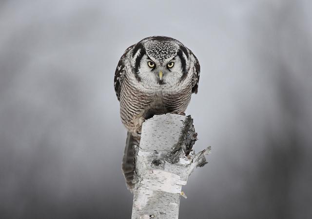 Staredown with a Hawk Owl