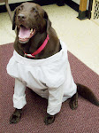 Lab coat labrador