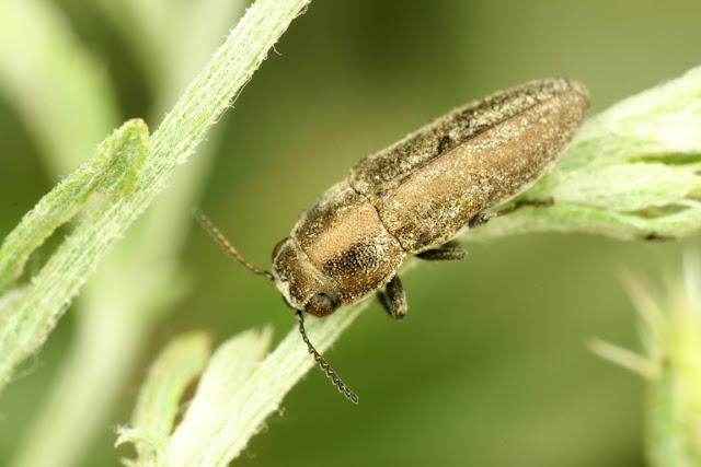 Sphenoptera jugoslavica