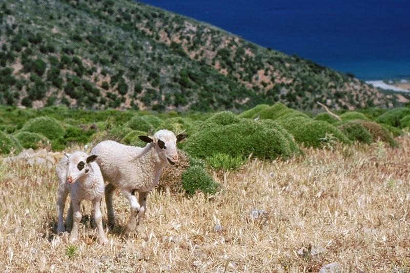 Agneaux (Crète, Grèce)