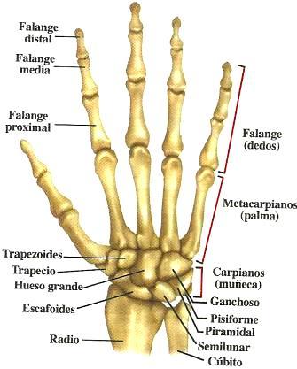 Dibujos de los Huesos de la mano indicando sus partes