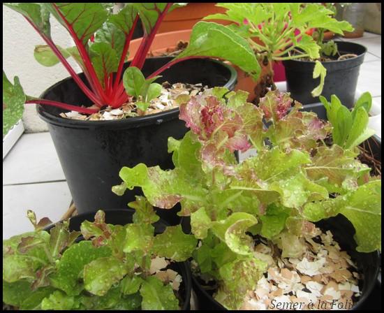 salade en graines et petite blette chérie en arrière-plan