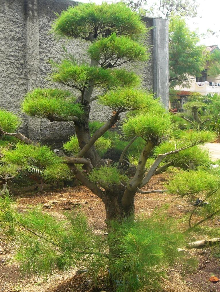 Pohon Bonsai Cemara Udang   Jasa tukang taman   Potong rumput   Kolam ...