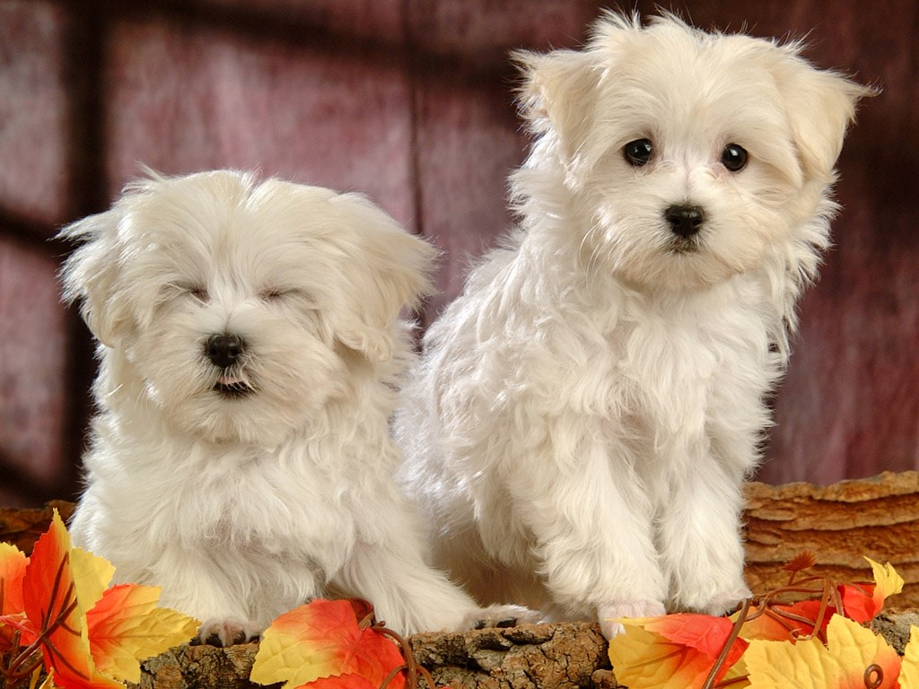 White Fluffy Puppy high quality wallpaper