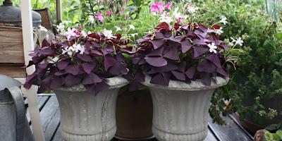 trifolium, oxalis, lykkekløver