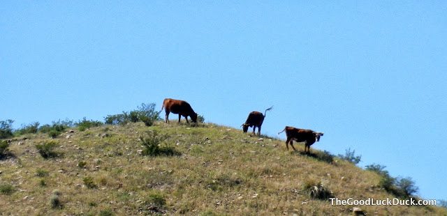 Cows pooping on a hill in Monticello, New Mexico