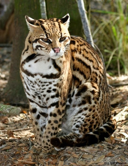 Top 5 Amazing Big Cats